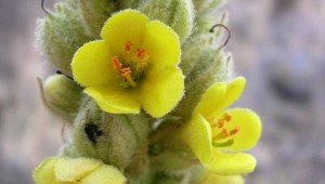 Mullein for Asthma